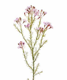 Künstlicher Zweig Chamelaucium uncinatum rosa 65 cm